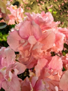 'Fancy Nancy' blooms mid-season with these colorful pastel pink flowers.