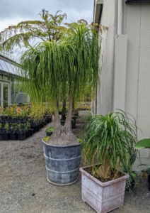 Beaucarnea recurvata, the elephant's foot or ponytail palm, is a species of plant in the family Asparagaceae, native to the states of Tamaulipas, Veracruz and San Luis Potosí in eastern Mexico. Despite its common name, it is not closely related to the true palms. In fact, it is a member of the Agave family and is actually a succulent. It has a bulbous trunk, which is used to store water, and its long, hair-like leaves that grow from the top of the trunk like a ponytail, giving the plant its renowned name. The one on the left is planted in a very heavy antique lead vessel.