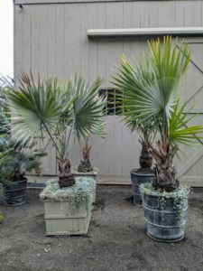 This is a Bismarkia palm, Bismarckia nobilis, which grows from a solitary trunk, gray to tan in color, and slightly bulging at the base.