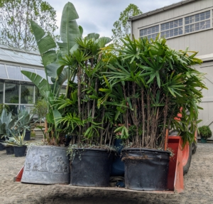 Fortunately, on this day, the temperature was not too hot. The most critical factor in moving plants is temperature. Avoid prolonged exposure to heat or cold, with temperatures below 35 degrees Fahrenheit or higher than 95-100 degrees Fahrenheit.
