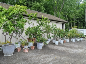 The plants are placed in front of the hoop house and stable barn until I can go through the collection.