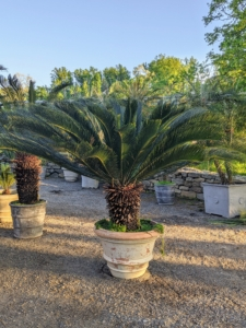The sago palm, Cycas revoluta, is a popular houseplant known for its feathery foliage and ease of care. Sago palms prefer to be situated in well-drained soil, and like other cycad plants, do not respond well to overwatering.