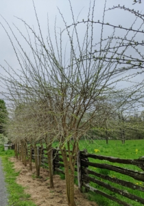 """Across the tennis court and along the fence of one of my horse paddocks are my osage orange trees. These trees grow so quickly. The Osage orange, Macular pomifera, is more commonly known as a hedge apple, bow wood, or bodark. It is a small deciduous tree or large shrub. During the mid 19th century, the sharp-thorned trees were often planted as cattle-deterring hedges before the introduction of barbed wire in the 1870s. Afterwards, the Osage orange trees became an important source of fence posts. The Osage orange is also known as a Bois D'arc, a name that was given by French settlers meaning """"bow-wood""""."""