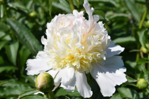 Plant peonies away from trees or shrubs, and provide them with shelter from strong winds.