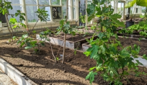 These trees will do so well here in my vegetable greenhouse. And with good care and a bit of time, these trees will produce lots and lots of delicious sweet fruits. I can't wait. What are your favorite fig varieties? Share your comments with me below.