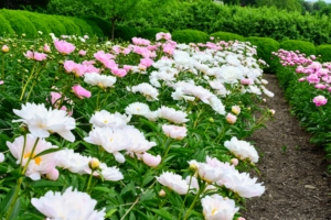 By the start of June, the beds are nearly all filled with blooms.