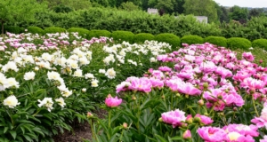 Among the varieties in my collection – 'Elsa Sass', 'Victorian Blush', 'Fringed Ivory', 'Martha', 'Madylone', 'Lullaby Coos', 'Vivid Glow', 'Angel Cheeks', 'Miss America' and 'Flying Pink Saucers'.
