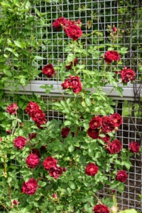 Rose stems are often armed with sharp prickles - they aren't thorns at all. Unlike a thorn, a prickle can be easily broken off the plant because it is really a feature of the outer layers rather than part of the wood, like a thorn. These roses are deep red with delicate ruffled petals.