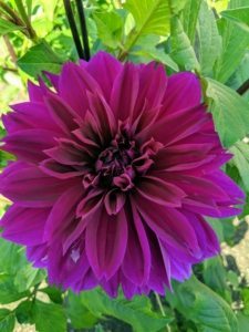 'Thomas Edison' has huge and magnificent, deep purple blossoms. The fully double flowers up to eight inches wide and are borne atop strong, sturdy stems. Blooming from now until frost, this dahlia grows up to three to four feet tall in the garden.