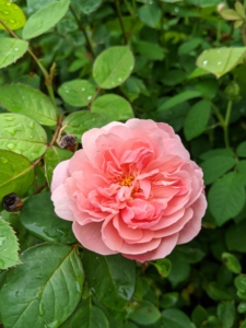 Nearby is this bold salmon colored rose. Rose leaves are borne alternately on the stem. In most species, they are about two to five inches long, pinnate, with at least three leaflets and basal stipules. The leaflets also usually have a serrated margin.