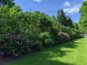 I also have a large collection planted along both sides of my lilac allee, just past my chicken coops and vegetable garden. During late spring and summer, this area is filled with various shades of pink, fragrant rose blooms.