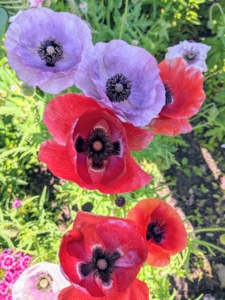 Never eat poppies. Most poppies are toxic to varying degrees. Virtually all species contain alkaloid compounds that are poisonous and can cause terrible side effects in both humans and pets.
