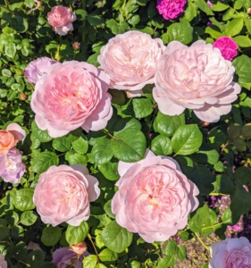 Roses come in many different colors, such as pink, peach, white, red, magenta, yellow, copper, vermilion, purple, and apricot.