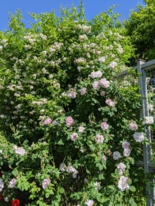 I have lots and lots of roses at the farm. Many are growing along all four sides of my perennial flower cutting garden fence – some are climbing and spilling over the sides.