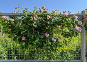 Climbers always do best when well supported by a trellis or fence – one that is the appropriate height, width, and strength for the climber. And always consider plants at maturity. The support should be strong enough to hold the weight of a full-grown rose plant in both wet and windy weather.