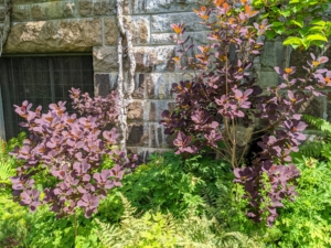 And the smoke bushes, Cotinus, are looking excellent. Cotinus are grown for their large, plumelike panicles, which appear after the flowers, and give a long-lasting, smokey haze to branch tips. Their smooth, rounded leaves come in exceptional shades of clear pinkish-bronze, yellow, deep purple, and green.
