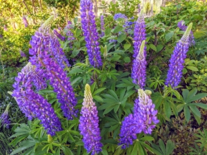 Cheryl is an avid photographer and enjoys taking nature photos around Maine and the pretty flowers at Skylands. Here are some of the first lupines. These flowers are attractive and spiky, reaching one to four feet in height. Lupine flowers may be annual and last only for a season or perennial, returning for a few years in the same spot in which they were planted. The lupine plant grows from a long taproot and loves full sun. The flowers are produced in dense or open whorls on an erect spike, each flower about one to two centimeters long. The pea-like flowers have an upper standard, or banner, two lateral wings, and two lower petals fused into a keel.