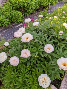 Both my herbaceous peonies and my tree peonies are finished blooming at Bedford, but they're looking wonderful at Skylands. The peony is any plant in the genus Paeonia, the only genus in the family Paeoniaceae. They are native to Asia, Europe and Western North America.
