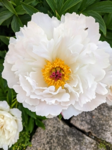 Herbaceous peony blooms range from simple blossoms to complex clusters. Peony flower shapes are one of four major groups: single, semi-double, Japanese, and double.