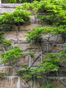 Here is one of the original kiwi vines growing up the stone wall to my West Terrace - still thriving after all these years.