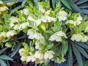 The hellebores are still going strong in Maine. Hellebores come in such an artful array of colors, markings, and formations, it's hard not to love these fascinating perennials. I've had hellebores in my gardens for many years. Hellebores are members of the Eurasian genus Helleborus – about 20 species of evergreen perennial flowering plants in the family Ranunculaceae. They blossom during late winter and through spring for up to three months. Hellebores are widely grown for decorative purposes because they are easy-to-grow and are able to resist frost. It is common to plant them on slopes or in raised beds in order to see their flowers, which tend to nod.
