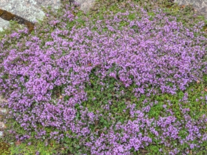 Creeping thyme, also known commonly as 'Mother of Thyme,' is an easily grown, spreading thyme variety. I planted creeping thyme between the stones of my large terrace. It is an evergreen with lightly haired foliage and small flowers appearing in low, dense mats.