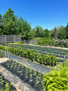 This is my flower cutting garden at Skylands, not far from my shop, stable, and carriage house. Here, my vegetable and flower garden are together in one large space completely surrounded by a tall fence.