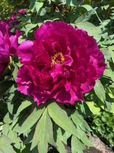 Wendy also took this closer image. Tree peonies are larger than the more common herbaceous peony, growing up to five feet wide and tall in about 10 years. They are highly prized for their large, prolific blooms that can grow up to 10 inches in diameter.