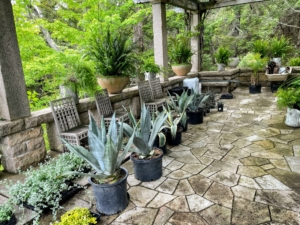 Here are some of the smaller potted agaves on the West Terrace. Agaves are long-leafed succulents with shallow roots and showy, spiked leaves.