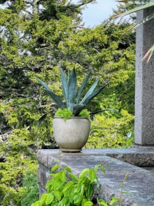 Here is a potted blue agave with its beautiful gray-blue spiky fleshy leaves. Do you know… tequila is actually distilled from the sap of the blue agave? Tequila is produced by removing the heart of the plant in its seventh to 14th year, depending on its growth rate.