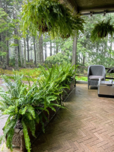 On the back porch, we filled all these planters with ferns - and ferns also hang from above. Ferns can add dramatic beauty to any planter. A fern is a member of a group of roughly 12-thousand species of vascular plants. In general, ferns are low-maintenance, hardy plants. They require lots of shade and ambient sunlight.