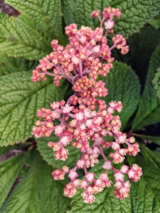 And here are the Rodgersia flowers. These tiny white to pink flowers arrive in late spring into midsummer.