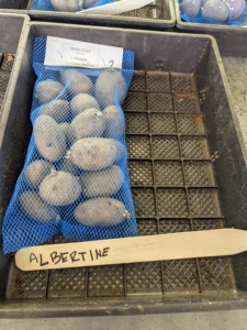 I like to plant different varieties - some of our favorites from years past as well as those I haven't yet tried. Among this season's selections – 'Albertine', a new variety exclusive to Irish Eyes. Albertine potatoes have yellow, smooth skin, shallow eyes and yellow flesh. It is disease resistant and a good variety for first time potato growers.