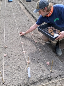 Potato plants are perennials that grow low to the ground like vines. Brian places each of the potato pieces about six to eight inches apart. The bed has already been prepared with twine, so the potatoes are planted in straight, tidy lines.