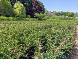 A week later, look at all the buds atop the stems. When I first planted my peony garden, I focused on pink varieties, and planted 11-double rows of 22-peony types. I chose the varieties for their colors, their forms and their long blooming periods.