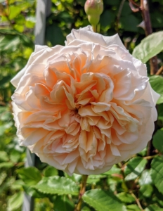 Roses come in many different colors, such as pink, peach, white, red, magenta, yellow, copper, vermilion, purple, and apricot. And many different shapes. This one is also very fragrant.