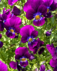 Johnny Jump Ups are a popular viola. They are native to Spain and the Pyrennes Mountains and are easy to grow. Small plants produce dainty, fragrant blooms – some in deep purple and yellow.