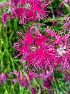 And here is a dark pink variety - also heavily fringed.