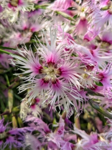 Here is another dianthus – very different with its fringed blooms.