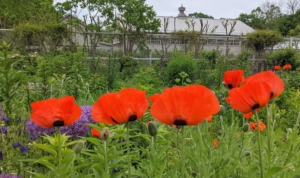 One of the most familiar of all poppies is the Oriental poppy. This perennial garden plant is a common feature of northern gardens, with its feathery foliage and orange, red, or salmon flowers that bloom in June and July. The leaves disappear in summer as the plant goes dormant, but a new set of basal leaves emerges in the fall.