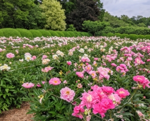 The peony's fragrance can vary, but most have sweet, clean scents. And, do you know… pink peonies tend to have stronger fragrances than red peonies? Double form white peonies are also very aromatic.