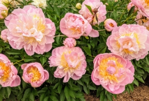 Herbaceous peonies grow two to four feet tall with sturdy stems and blooms that can reach up to 10-inches wide. We spaced the plants about three to four feet apart to avoid any competing roots.