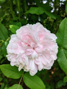 And here is one in very light pink. The best way to prevent rose diseases is to choose disease-resistant varieties. Many roses are bred and selected to resist the most common rose problems.