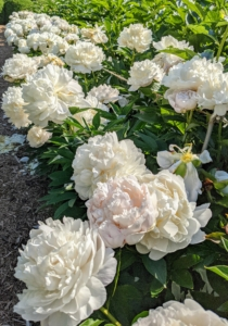 Peony blooms range from simple blossoms to complex clusters with a variety of petal forms.