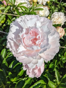 This light pink peony is so pretty in the morning light. Peonies usually bloom quite easily. Always be sure the plants get at least six hours of full sun per day.