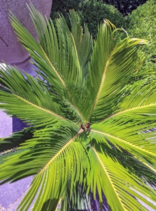 The plant is not a true palm, despite its common name, but a cycad, part of a prehistoric class of plants. It produces a whorl of dark green, feather-like fronds on its trunk. The pinnate leaves are typically about four to five feet long at maturity, and nine-inches wide, reaching their greatest length when grown in partial shade.