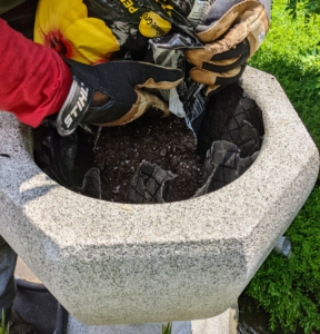 After the black cloth is tucked into the pot, the plant is inserted and Domi fills the rest of the container with medium. Cycads like a good draining soil. Be sure the soil medium includes elements such as peat moss, perlite, and a little sand.