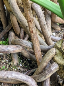 Many varieties of Philodendron produce aerial roots which aid in providing supplemental nourishment. These aerial roots can be trained to climb or directed into the soil. The tough roots grow downward from the thick stem and will root if they touch the ground.