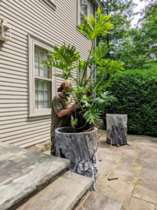 Then he carefully places the philodendron into the faux bois pot. To preserve these more porous and fragile faux bois planters and to simplify the removal in autumn, the philodendrons are also kept in their plastic pots.