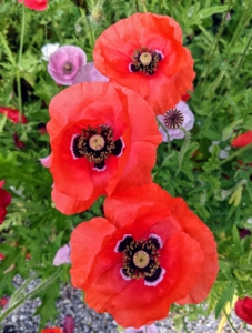 My flower garden is brimming with poppies in a variety of colors and forms. Papaver grows mainly in the northern hemisphere, including within the Arctic Circle, with one species found in southern Africa.